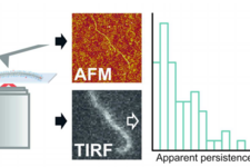 Mechanical properties of single supramolecular polymers from correlative AFM and fluorescence microscopy